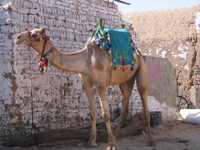 080126 camel.jpg