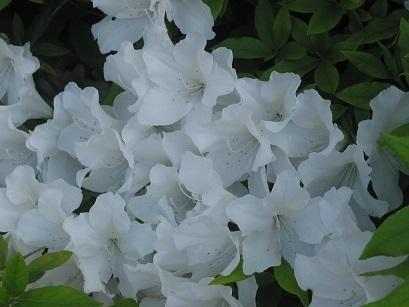 150501 tsutsuji white.JPG